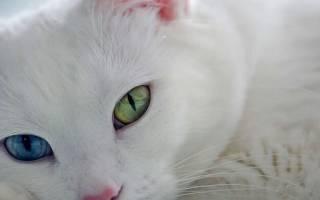 9 самых дорогих пород кошек в мире