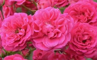 6 лучших сортов плетистых роз — Рейтинг 2020