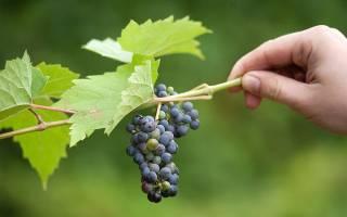12 лучших сортов винограда для Подмосковья — Рейтинг 2020