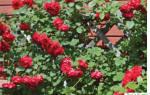 15 лучших сортов чайно-гибридных роз — Рейтинг 2020