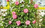 15 лучших сортов роз для Сибири — Рейтинг 2020