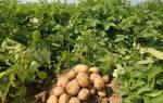 12 лучших сортов картофеля для средней полосы — Рейтинг 2020