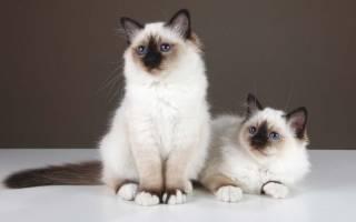 18 лучших пород кошек — Рейтинг 2020